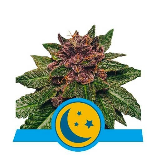 Purplematic CBD - Royal Queen Seeds - Seed Banks
