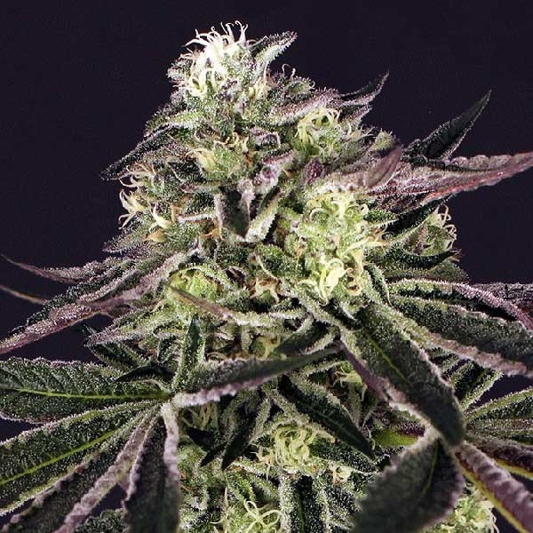 Purple Shot - Exotic Seed - Seed Banks