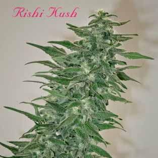 RISHI KUSH - REGULAR - 10 SEEDS - Mandala Seeds - Seed Banks