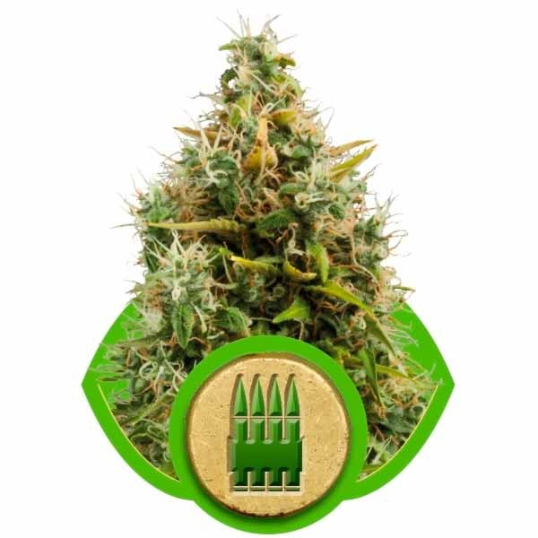 ROYAL AK AUTOMATIC - Royal Queen Seeds - Seed Banks