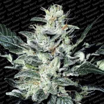 SENSI STAR - Paradise Seeds - Seed Banks