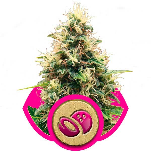 Somango XL - Royal Queen Seeds - Seed Banks