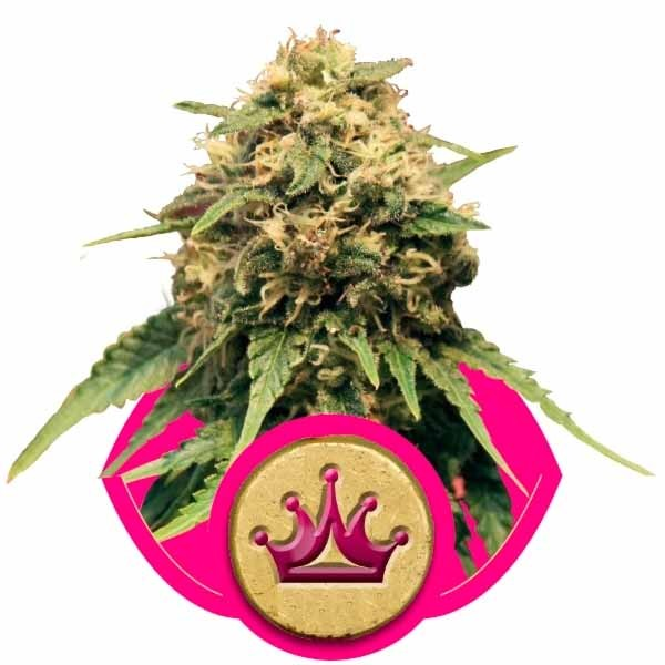 SPECIAL QUEEN #1 - Royal Queen Seeds - Seed Banks