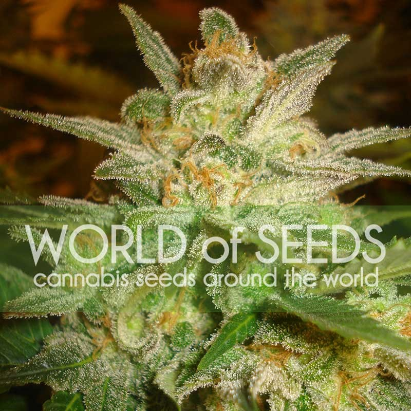 Star 47 - World of Seeds - Seed Banks