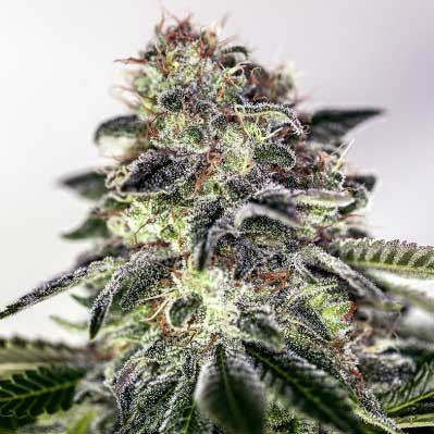 Sticky Dream Express - 5 seeds - Positronics - Seed Banks