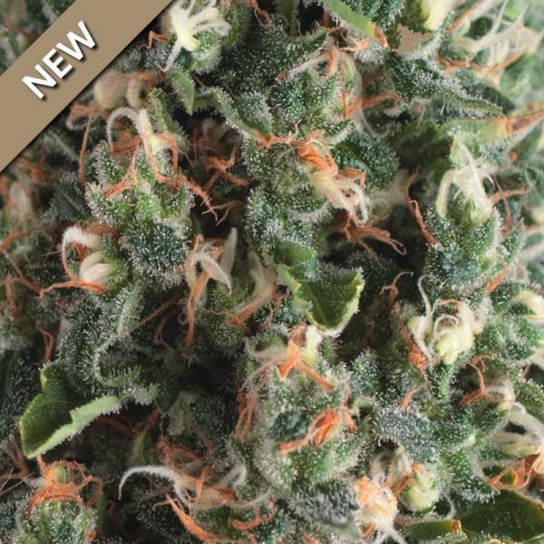 AUTO SUPER OG KUSH - Pyramid Seeds - Seed Banks