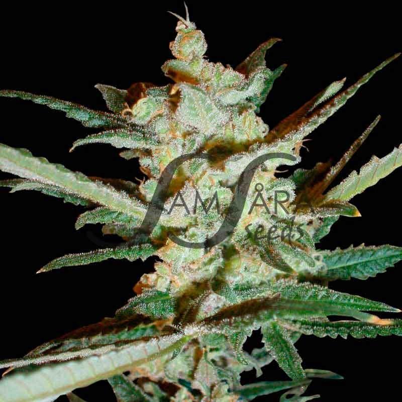 Supersonic Cristal Storm - AUTOFLORECIENTES - Samsara Seeds