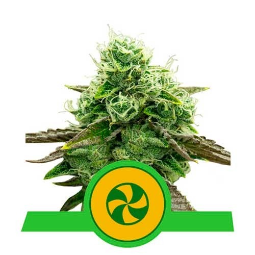 Sweet ZZ Automatic - Royal Queen Seeds - Seed Banks