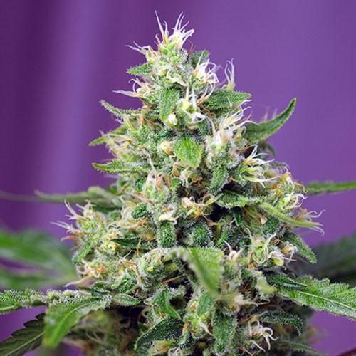 Sweet Amnesia Haze XL Auto - Sweet Seeds - Seed Banks