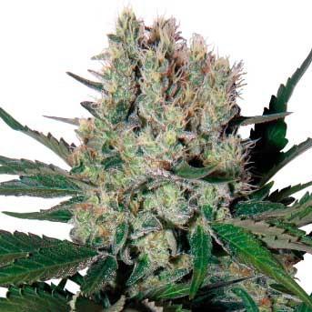 Syrup Auto - Buddha Seeds - Seed Banks