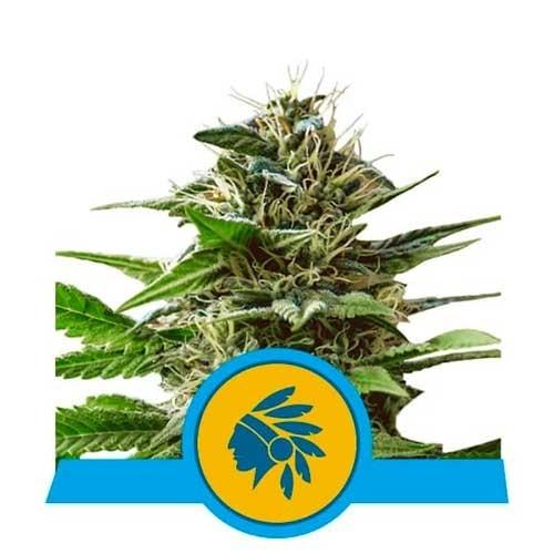 Tatanka Pure CBD - Royal Queen Seeds - Seed Banks