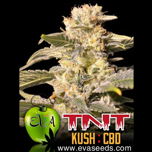 TNT KUSH CBD - Eva Seeds - Seed Banks