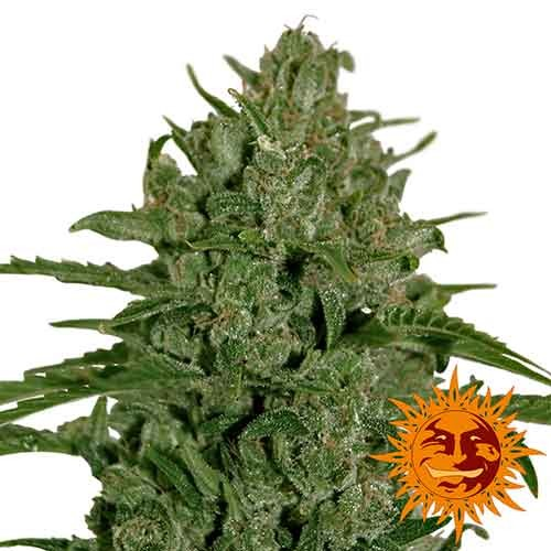 Triple Cheese - Barney's Farm - Seed Banks
