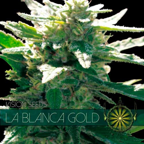 LA BLANCA GOLD - Vision Seeds - Seed Banks