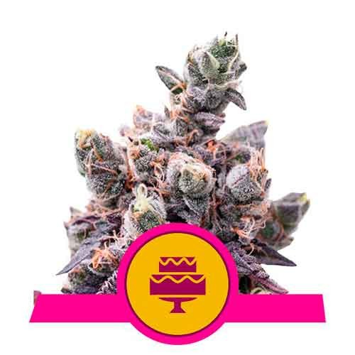 Wedding Gelato - Royal Queen Seeds - Seed Banks