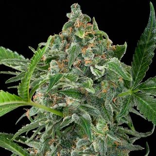 White Cheese Auto - Dinafem - Seed Banks