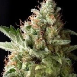 American Pie - Samsara Seeds - Pyramid Seeds