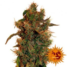 8 BALL KUSH - Samsara Seeds - Barney's Farm