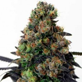 Acid Dough - Samsara Seeds - Ripper Seeds