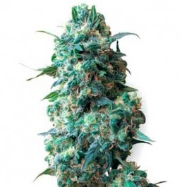 AFGHAN KUSH REGULAR - Samsara Seeds - Sensi White Label