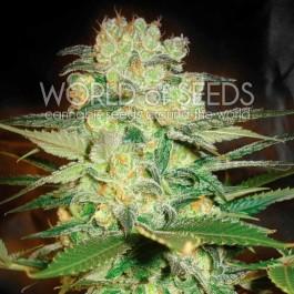 Afghan Kush x White Widow - Samsara Seeds - World of Seeds