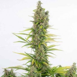 Amnesia Autoflowering CBD - Samsara Seeds - Dinafem