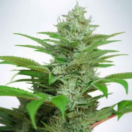 Auto CBD Star - Samsara Seeds - Ministry of Cannabis