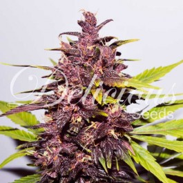 AUTO DARK PURPLE - Samsara Seeds - Delicious Seeds