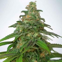 Auto Mandarin Haze - Samsara Seeds - Ministry of Cannabis