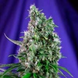 SWEET TRAINWRECK AUTO - Samsara Seeds - Sweet Seeds