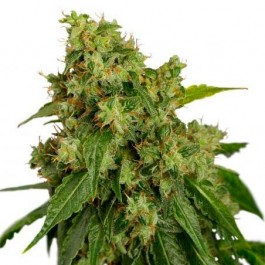 AUTO XTREME - Samsara Seeds - Dutch Passion