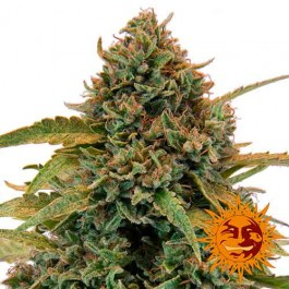 BAD AZZ KUSH - Samsara Seeds - Barney's Farm