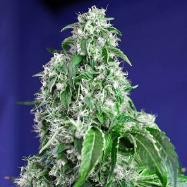 BIG DEVIL FAST VERSION  - Samsara Seeds - Sweet Seeds