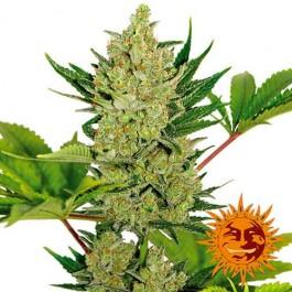 BLUEBERRY CHEESE AUTO - Samsara Seeds - Barney's Farm