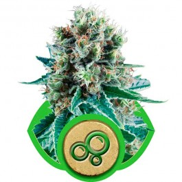 Bubble Kush Automatic - Samsara Seeds - Royal Queen Seeds