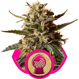 Bubblegum XL - Samsara Seeds - Royal Queen Seeds
