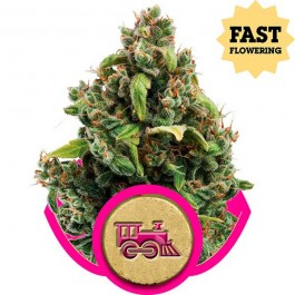 Candy Kush Express (Fast Flowering) - Samsara Seeds - Royal Queen Seeds