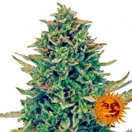 CBD BLUE SHARK - Samsara Seeds - Barney's Farm