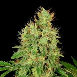 CBD-Chronic - Samsara Seeds - Serious Seeds