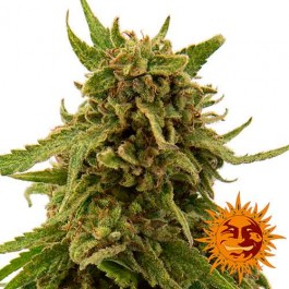 CBD CRITICAL CURE - Samsara Seeds - Barney's Farm