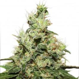 CBD Kush - Samsara Seeds - Dutch Passion
