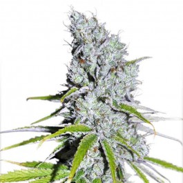 CBD Skunk Haze - Samsara Seeds - Dutch Passion