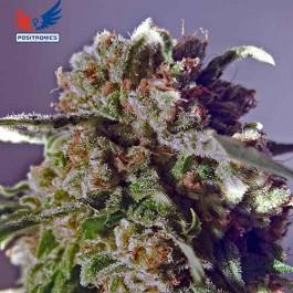 CBD Black Widow - Samsara Seeds - Positronics