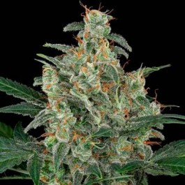 CHEESE AUTO - Samsara Seeds - Dinafem