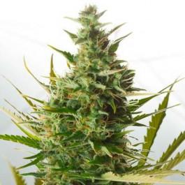 CHEESE XXL AUTO - Samsara Seeds - Dinafem