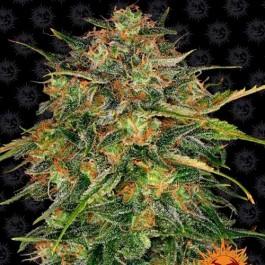 CHEESE - Samsara Seeds - Barney's Farm