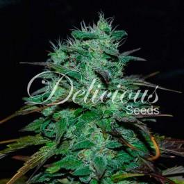 Chocobang - Samsara Seeds - Delicious Seeds