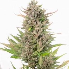 Critical + Autoflowering CBD - Samsara Seeds - Dinafem