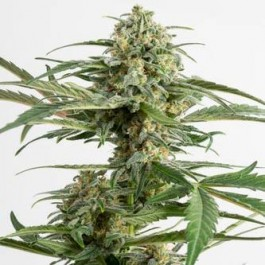 CRITICAL CHEESE AUTO - Samsara Seeds - Dinafem