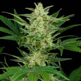 CRITICAL JACK AUTO - Samsara Seeds - Dinafem